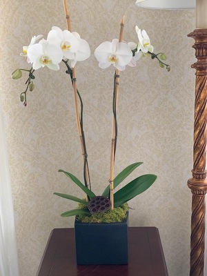 Double Phalaenopsis Orchid from Mangel Florist, flower shop at the Drake Hotel Chicago