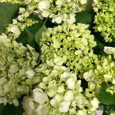 Mini Green Hydrangea  from Mangel Florist, flower shop at the Drake Hotel Chicago