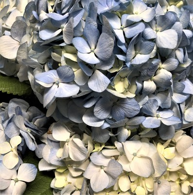 Blue Hydrangea from Mangel Florist, flower shop at the Drake Hotel Chicago