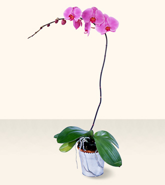 Phalaenopsis Lavender Orchid from Mangel Florist, flower shop at the Drake Hotel Chicago