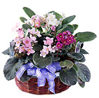 African Violets from Mangel Florist, flower shop at the Drake Hotel Chicago